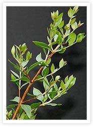 Henna - lawsonia